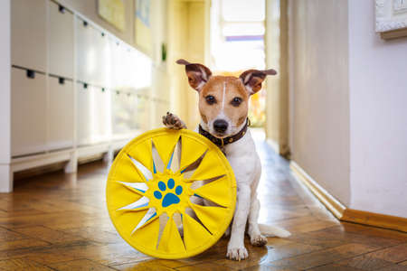 jack russell dog playing with ball , toy or disc.,  waiting  and ready to play with owner