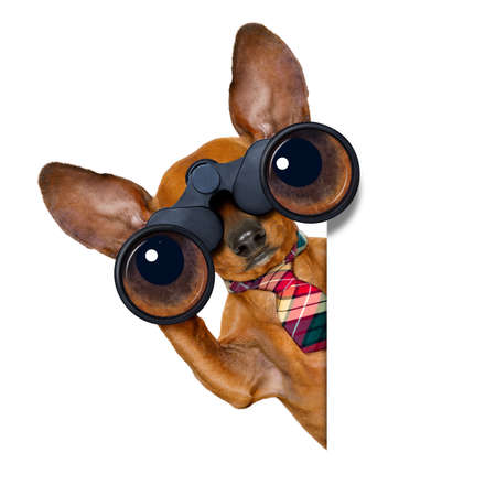 dachshund or sausage dog   binoculars searching, looking and observing with care, isolated on white background