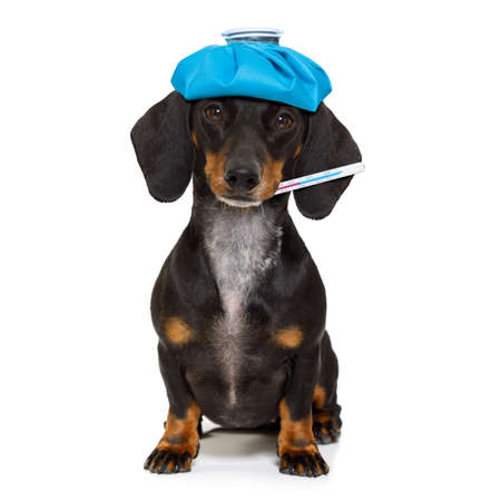 sick and ill dachshund sausage dog  isolated on white background with ice pack or bag on the head, with thermometer Stock Photo