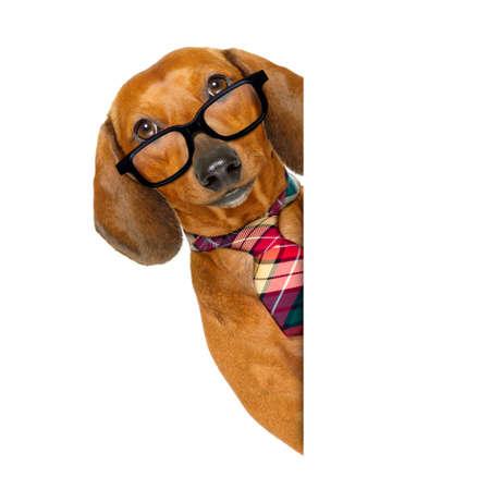 Trabajador de oficina hombre de negocios perro dachshund salchicha como jefe y chef con corbata, aislado sobre fondo blanco Foto de archivo - 79873197
