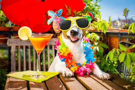 balcony: drunk jack russell dog relaxing on balcony with sunglasses in summer or spring  vacation holidays   with a cocktail drink