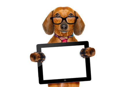 screen: office worker businessman dachshund sausage  dog  as  boss and chef , with tablet  pc computer screen , isolated on white background