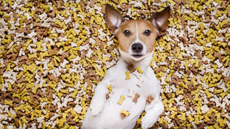 feast: hungry jack russell dog inside a big mound or cluster of food , isolated on mountain of cookie bone  treats as background