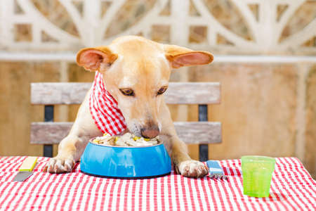 hungry chihuahua dog eating with tablecloth utensils at the table , food  bowl , fork and knife Stock Photo