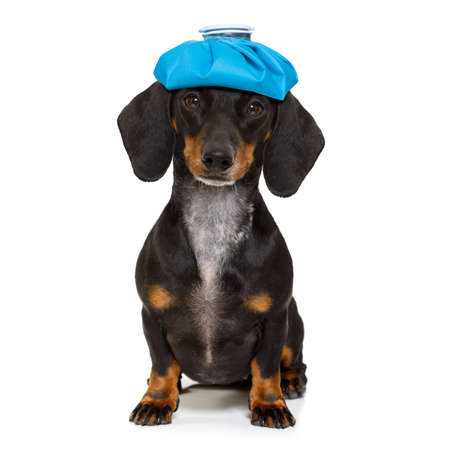 sick and ill dachshund sausage dog  isolated on white background with ice pack or bag on the head Stock Photo