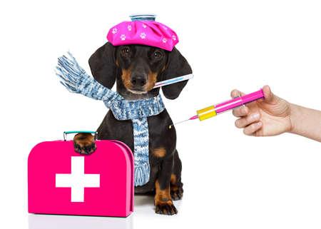 Krank und krank Dackel Wurst Hund isoliert auf weißem Hintergrund mit Eis-Pack oder Tasche auf dem Kopf, mit Thermometer und Spritze Impfstoff