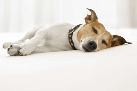 overslept: jack russell dog  sleeping on the blanket in bed in   bedroom, ill ,sick or tired, eyes closed