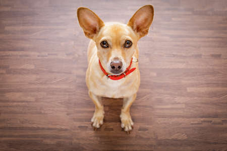 master: chihuahua dog waiting and looking up for owner to play  and go for a walk   , isolated on floor background