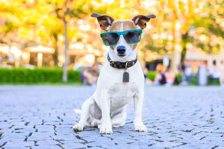 close up: Jack russell dog  waiting to go for a walk with owner in park sitting with cool and funny sunglasses Stock Photo