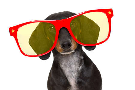 plate: dachshund or sausage  dog ,wearing   funny red sunglasses , isolated on white background