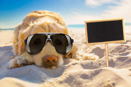 resting: golden retriever dog relaxing, resting,or sleeping at the beach, for retirement or retired with a banner or placard to side Stock Photo