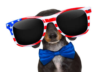 fingers: dachshund sausage dog wearing sunglasses of usa  on  independence day 4th of july, isolated on white background