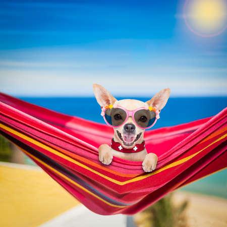Chihuahua Hund entspannenden auf einer fancy roten Hängematte mit Sonnenbrille Standard-Bild