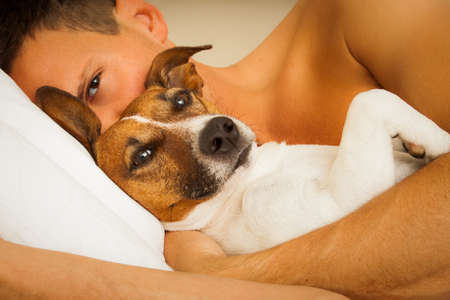 jack russell dog in bed resting or sleeping , with owner dreaming in bedroom under the blanket , to early for wake up Stock Photo