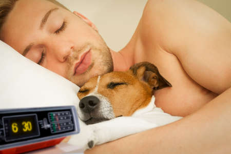 jack russell dog in bed resting or sleeping , with owner dreaming in bedroom under the blanket , to early for wake up, alarm clock ringing photo