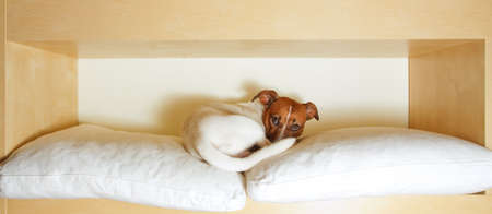 funny glasses: jack russell terrier dog resting  having  a siesta  on his bed  tired and sleepy Stock Photo