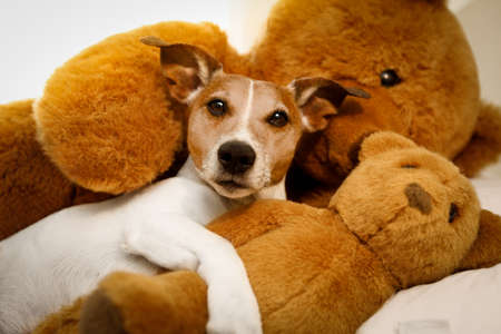 funny glasses: jack russell terrier dog resting  having  a siesta  on his bed with his teddy bear,   tired and sleepy Stock Photo