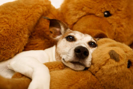 bedroom: jack russell terrier dog resting  having  a siesta  on his bed with his teddy bear,   tired and sleepy Stock Photo