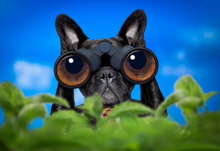 profession: french bulldog  dog   binoculars searching, looking and observing with care, behind bushes Stock Photo