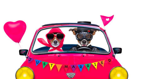 couple of two dogs driving  a  pink car or van just married, on gay pride day or csd