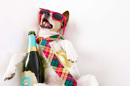 exhausting: drunk jack russell terrier dog resting  or sleeping hangover with headache, with bottle and glass , wearing sunglasses and tie Stock Photo