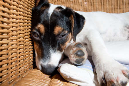 jack russell terrier dog resting  having  a siesta  on his bed  tired and sleepy Stock Photo