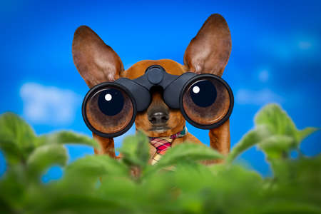 profession: dachshund or sausage dog   binoculars searching, looking and observing with care, behind bushes Stock Photo