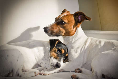 couple of two dogs lose together in love and cuddling in bed