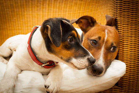 bedroom: couple of two dogs lose together in love and cuddling in bed