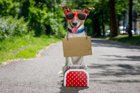 road of love: lost  and homeless  jack russell dog abandoned at the street waiting to be adopted, luggage or a bag Stock Photo
