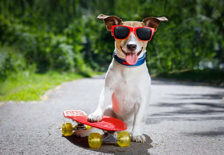 skateboarder: jack russell terrier dog  riding a skateboard as a skater , with sunglasses in summer vacation