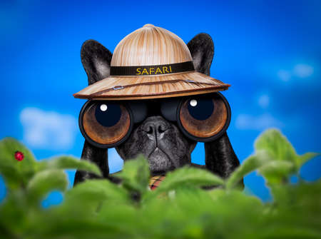 find: french bulldog  dog   binoculars searching, looking and observing with care, behind bushes Stock Photo