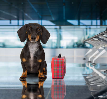 board: holiday vacation dachshund sausage dog waiting in airport terminal ready to board the airplane or plane at the gate, luggage or bag to the side