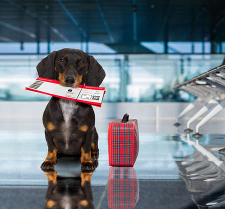 holiday vacation dachshund sausage dog waiting in airport terminal ready to board the airplane or plane at the gate, luggage or bag to the side