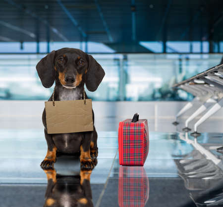 dachshund sausage dog waiting in airport terminal ready to be transported in a pet box by flight volunteer or travel companion to be adopted