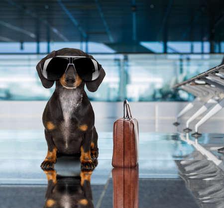 Férias de férias dachshund cão de salsicha esperando no terminal do aeroporto pronto para embarcar no avião ou avião no portão, bagagem ou saco para o lado