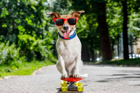 jack russell terrier dog  riding a skateboard as a skater , with sunglasses in summer vacation photo