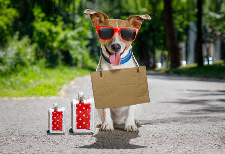 lost  and homeless  jack russell dog with cardboard hanging around neck, abandoned at the street and luggage or bags waiting to be adopted Stock Photo
