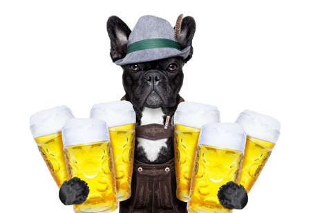 funny glasses: french bulldog dog holding  couple of beer mugs   isolated on white background , ready for the beer party celebration festival in munich Stock Photo