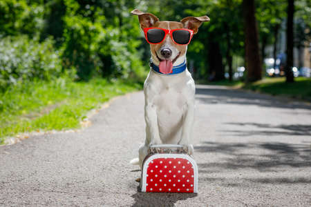 lost  and homeless  jack russell dog abandoned at the street waiting to be adopted, luggage or a bag Stock Photo