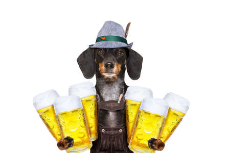 pretzel: bavarian dachshund or sausage  dog holding  couple of beer mugs   isolated on white background , ready for the beer party celebration festival in munich