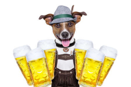 jack russell dog holding  couple of beer mugs   isolated on white background , ready for the beer party celebration festival in munich Stock Photo