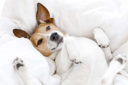 jack russell dog  sleeping on the blanket in bed in   bedroom, ill ,sick or tired, eyes open Stock Photo