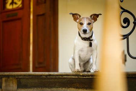 jack russell perro esperando una puerta en casa en las escaleras listo para ir a dar un paseo con su dueño (luz baja)