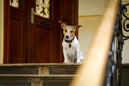 obediencia: jack russell perro esperando una puerta en casa en las escaleras listo para ir a dar un paseo con su dueño (luz baja)
