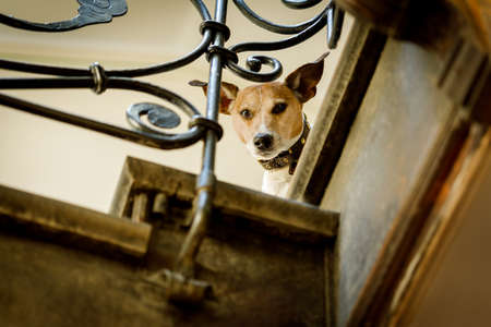 master: jack russell  dog  waiting a the door at home at the stairs ready to go for a walk with his owner ( low light )