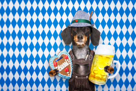 funny glasses: bavarian dachshund or sausage  dog with  gingerbread and  mug  isolated on white background , ready for the beer celebration festival in munich,