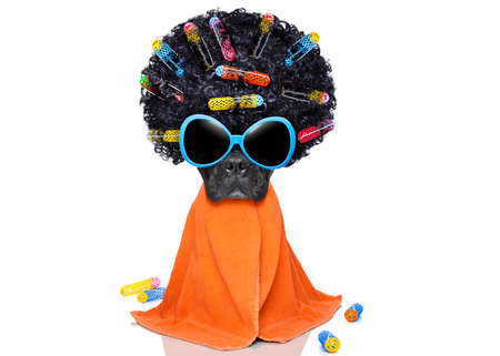 hairdresser: french bulldog dog  with hair rulers  afro curly wig  hair at the hairdresser with orange  towel , isolated on white background