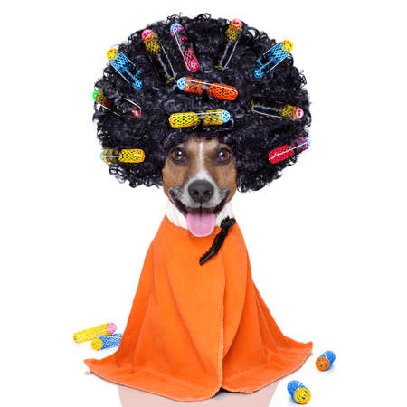 hairdresser: afro look dog with very big curly black hair , or wig  wearing orange hairdressers towel , isolated on white background Stock Photo