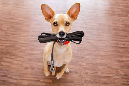 chihuahua dog waiting for owner to play  and go for a walk with leash  , isolated on wood background